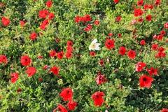 κόκκινο λουλουδιών Καλοκαίρι Στοκ Φωτογραφία
