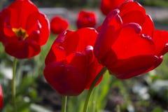 κόκκινο λουλουδιών Οι κόκκινες τουλίπες Στοκ Φωτογραφία