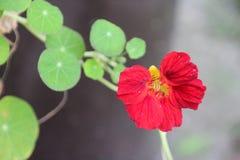 κόκκινο λουλουδιών Στοκ Φωτογραφία