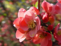 κόκκινο λουλουδιών Στοκ Εικόνα