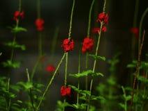 κόκκινο λουλουδιών Στοκ φωτογραφία με δικαίωμα ελεύθερης χρήσης
