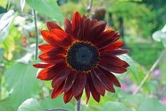 Κόκκινο λουλούδι ήλιων στοκ φωτογραφίες με δικαίωμα ελεύθερης χρήσης