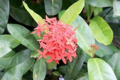 Κόκκινο λουλούδι ακίδων Ixora Άνθιση Ixora Ixora βασιλιάδων chinensis Λουλούδι coccinea Ixora στο δέντρο στον κήπο Θερινό κόκκινο Στοκ Εικόνα