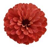 Κόκκινο λουλούδι απομονωμένο στο λευκό υπόβαθρο με το ψαλίδισμα της πορείας καμία σκιά Όμορφο λουλούδι μαργαριτών για το σχέδιο c Στοκ φωτογραφία με δικαίωμα ελεύθερης χρήσης