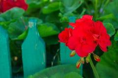 Κόκκινο λουλούδι γερανιών Στοκ εικόνες με δικαίωμα ελεύθερης χρήσης