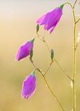 Κόκκινο λουλούδι κουδουνιών Στοκ φωτογραφία με δικαίωμα ελεύθερης χρήσης