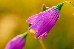 Κόκκινο λουλούδι κουδουνιών Στοκ Εικόνες