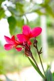 Κόκκινο λουλούδι Λ Στοκ εικόνα με δικαίωμα ελεύθερης χρήσης