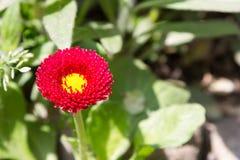 Κόκκινο λουλούδι μαργαριτών Στοκ Εικόνες