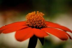 Κόκκινο λουλούδι μαργαριτών Στοκ φωτογραφίες με δικαίωμα ελεύθερης χρήσης
