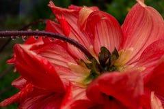 Κόκκινο λουλούδι μετά από τη βροχή Στοκ Εικόνες