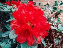 Κόκκινο λουλούδι με την πράσινη ανασκόπηση Στοκ Φωτογραφία