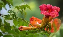 Κόκκινο λουλούδι με τη δροσιά Στοκ φωτογραφία με δικαίωμα ελεύθερης χρήσης