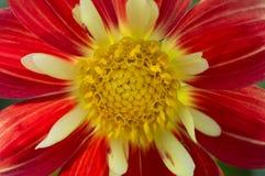 Κόκκινο λουλούδι με τον κίτρινο δίσκο λουλουδιών Στοκ εικόνα με δικαίωμα ελεύθερης χρήσης