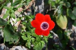 Κόκκινο λουλούδι με τους μαύρους σπόρους Στοκ Εικόνες