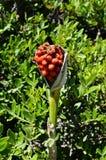 Κόκκινο λουλούδι μούρων Στοκ εικόνες με δικαίωμα ελεύθερης χρήσης