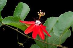 Κόκκινο λουλούδι πάθους Στοκ εικόνα με δικαίωμα ελεύθερης χρήσης