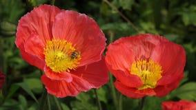 κόκκινο λουλούδι παπαρουνών με τη μέλισσα απόθεμα βίντεο