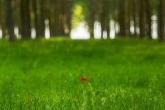 κόκκινο λουλούδι παπαρουνών σε ένα δάσος δέντρων λευκών Στοκ εικόνα με δικαίωμα ελεύθερης χρήσης