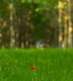 κόκκινο λουλούδι παπαρουνών σε ένα δάσος δέντρων λευκών Στοκ Φωτογραφία