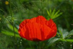 Κόκκινο λουλούδι παπαρουνών στην πράσινη χλόη Στοκ Φωτογραφία