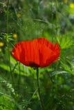 Κόκκινο λουλούδι παπαρουνών στην πράσινη χλόη Στοκ Εικόνες
