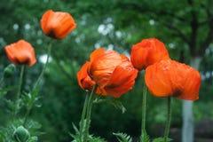 Κόκκινο λουλούδι παπαρουνών στον κήπο Στοκ Εικόνες