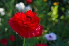 Κόκκινο λουλούδι παπαρουνών στο λιβάδι λουλουδιών Στοκ φωτογραφία με δικαίωμα ελεύθερης χρήσης