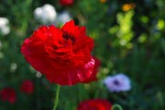 Κόκκινο λουλούδι παπαρουνών στο λιβάδι λουλουδιών Στοκ Εικόνες