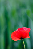 Κόκκινο λουλούδι παπαρουνών στο πράσινο φυσικό υπόβαθρο στοκ φωτογραφία με δικαίωμα ελεύθερης χρήσης
