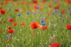 Κόκκινο λουλούδι παπαρουνών στοκ φωτογραφίες
