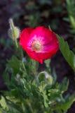 Κόκκινο λουλούδι παπαρουνών Στοκ Εικόνες