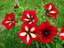 Κόκκινο λουλούδι πετουνιών στοκ φωτογραφίες με δικαίωμα ελεύθερης χρήσης