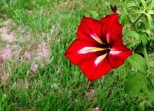 Κόκκινο λουλούδι πετουνιών στοκ φωτογραφίες