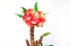 Κόκκινο λουλούδι, πράσινο φύλλο και ανθίζοντας ακίδα που απομονώνονται στο λευκό Στοκ Φωτογραφία