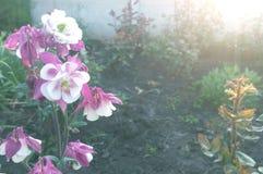 Κόκκινο λουλούδι σε έναν όμορφο κήπο στο ηλιοβασίλεμα της ημέρας Στοκ Φωτογραφίες
