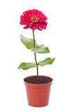 Κόκκινο λουλούδι σε ένα δοχείο στοκ φωτογραφία με δικαίωμα ελεύθερης χρήσης