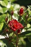 Κόκκινο λουλούδι στην άνθιση Στοκ φωτογραφία με δικαίωμα ελεύθερης χρήσης