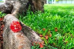 Κόκκινο λουλούδι στη χλόη Στοκ Εικόνες