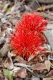 Κόκκινο λουλούδι σφαιρών (κρίνος βολίδων) στο Victoria Falls στοκ εικόνα με δικαίωμα ελεύθερης χρήσης