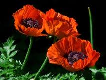 Κόκκινο λουλούδι της παπαρούνας Στοκ φωτογραφία με δικαίωμα ελεύθερης χρήσης