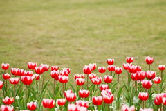 Κόκκινο λουλούδι τουλιπών και ο πράσινος χορτοτάπητας στοκ φωτογραφία με δικαίωμα ελεύθερης χρήσης