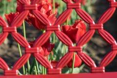 Κόκκινο λουλούδι τουλιπών μέσω της κόκκινης σχάρας Στοκ εικόνες με δικαίωμα ελεύθερης χρήσης