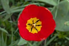 Κόκκινο λουλούδι τουλιπών Στοκ φωτογραφίες με δικαίωμα ελεύθερης χρήσης