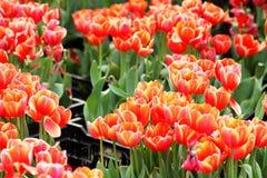 Κόκκινο λουλούδι τουλιπών στοκ φωτογραφία με δικαίωμα ελεύθερης χρήσης