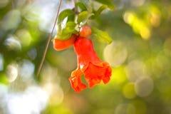 Κόκκινο λουλούδι του ροδιού με το φυσικό bokeah επίδρασης Στοκ φωτογραφίες με δικαίωμα ελεύθερης χρήσης