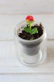 Κόκκινο λουλούδι του kalanchoe - μικρές εγχώριες εγκαταστάσεις Στοκ εικόνες με δικαίωμα ελεύθερης χρήσης