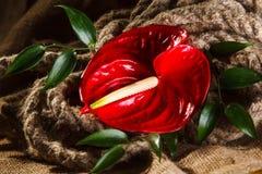 Κόκκινο λουλούδι το Anturium σε ένα εντυπωσιακό υπόβαθρο Στοκ εικόνες με δικαίωμα ελεύθερης χρήσης