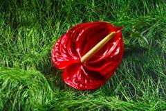 Κόκκινο λουλούδι το Anturium σε ένα εντυπωσιακό υπόβαθρο Στοκ Εικόνες