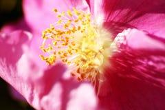 Κόκκινο λουλούδι των ροδαλών ισχίων κατά τη διάρκεια του θερινού ανθίσματος Στοκ Εικόνα